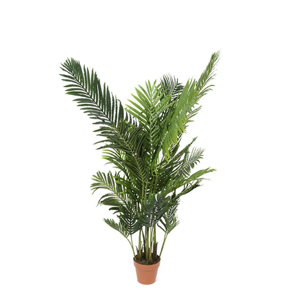 Palmera areca garden express - Planta interior palmera ...