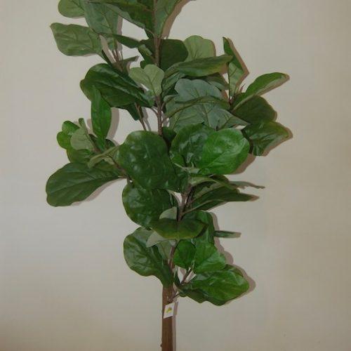 Ficus lyrata 19964