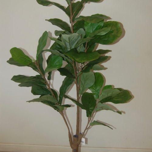 Ficus lyrata 20998
