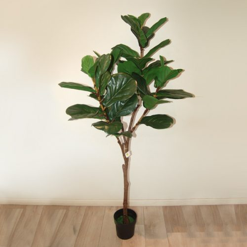 Ficus lyrata 23963